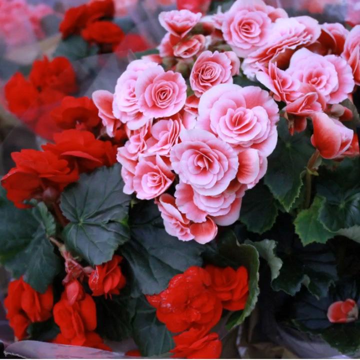 fiori primaverili rosa e rossi